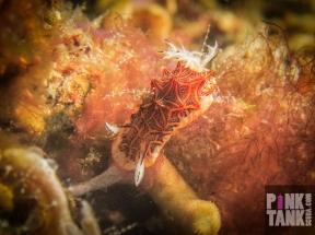 LOGO Indian Nudibranch Brown