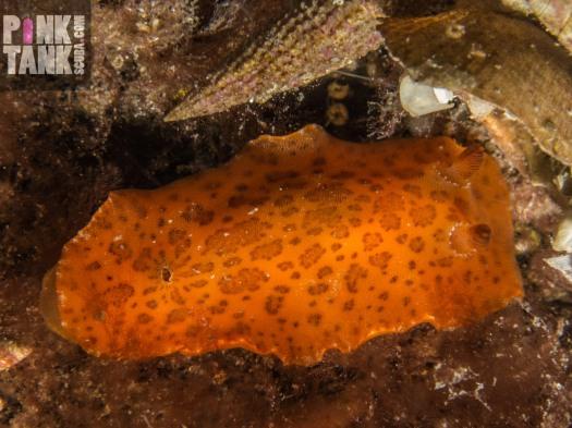 LOGO Orange Tiger Nudi