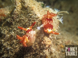 LOGO tan and cream nudis mating