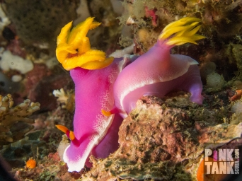 LOGO Two Purple nudi with yellow branchs