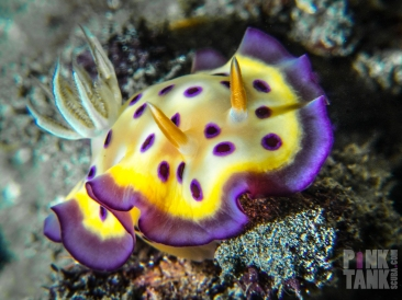 LOGO Yellow Nudibranch with Purple frill front on 13 May Bali 2018