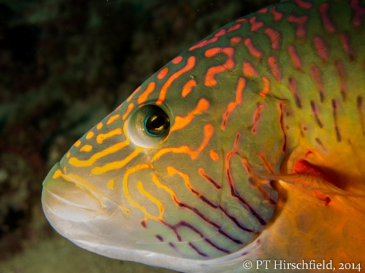 wrasse close up face