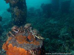 3 crabs on orange stump over all crabs