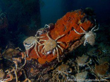 3 crabs on orange stump