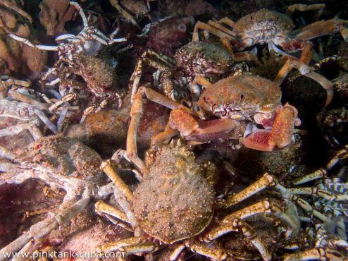 crab wallpaper