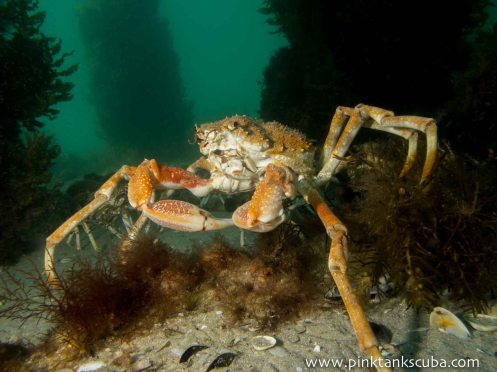 large orange spider crab posing