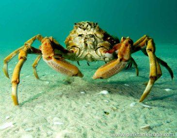 large orange spider crab