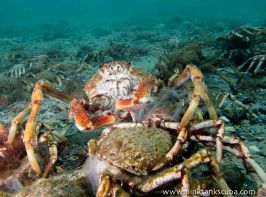 orange crab wideangle