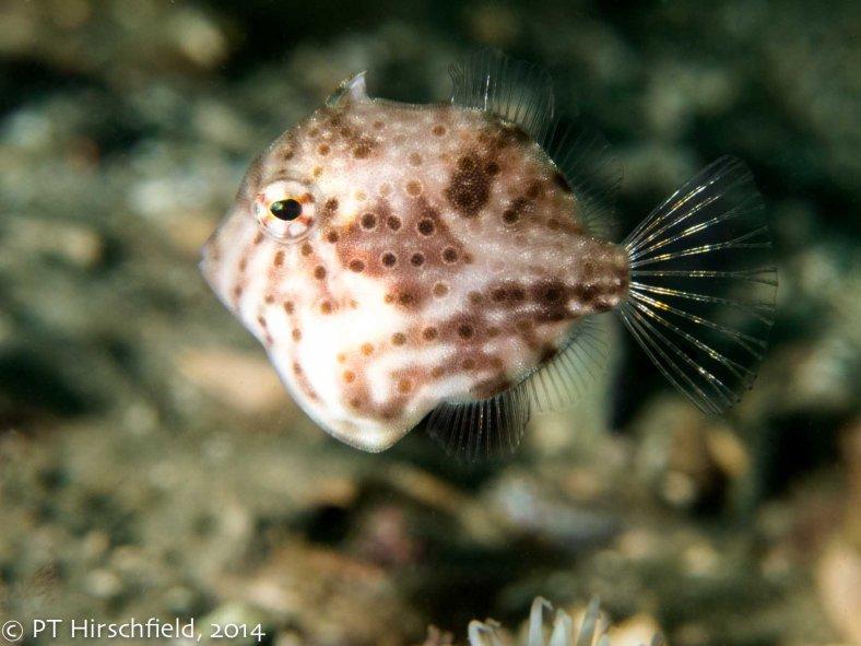 shiny tail fish