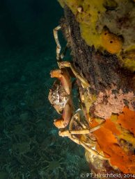sideways crab on pylon with crabs behind