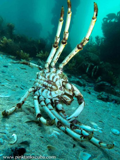 spidercrab carcass_