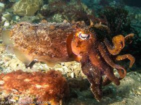 wm portsea cuddlefish