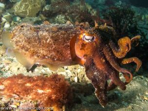 wm portsea cuddlefish