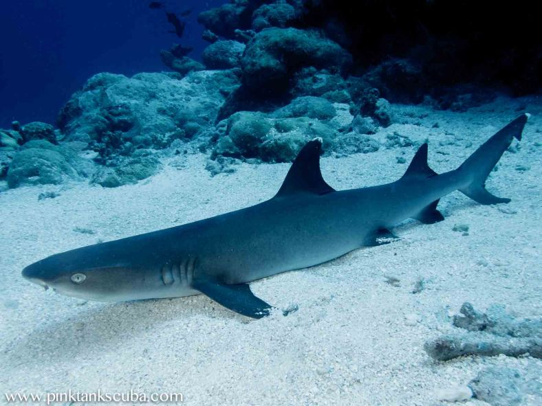 One of many very chilled out white tip reef sharks.