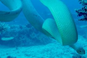 mating sea snakes
