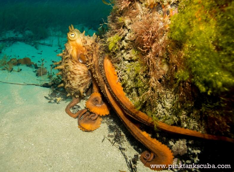 Octopus hugging pylon at Flinders