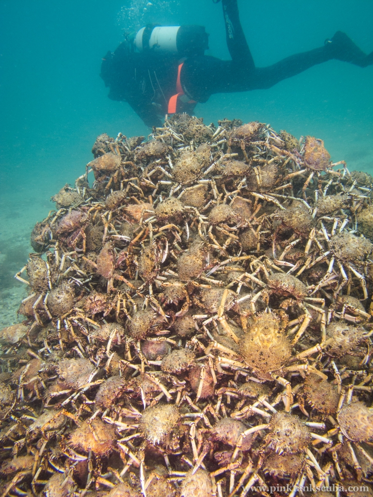 Spider Crab Pyramid with diver receding