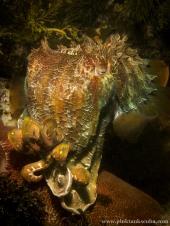 Cuttlefish Close-Up Portrait