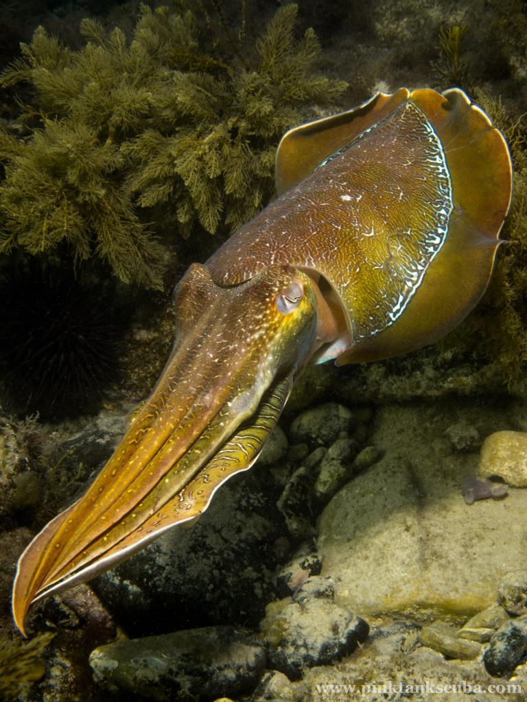 Cuttlefish Diagonal