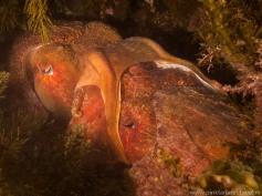 Cuttlefish mating