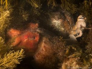 Cuttlefish sleeping