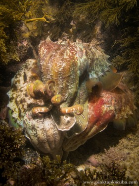Three snuggling cuttlefish