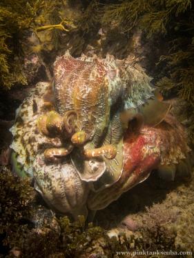 Three snuggling cuttlefish