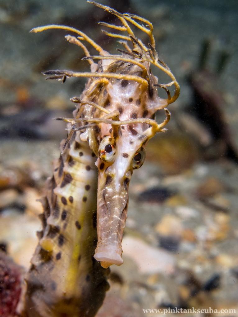 Wild Seahorse