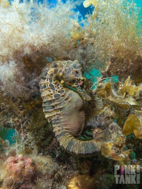 LOGO Dark Seahorse with Red Eye at Flinders 20 April 2018