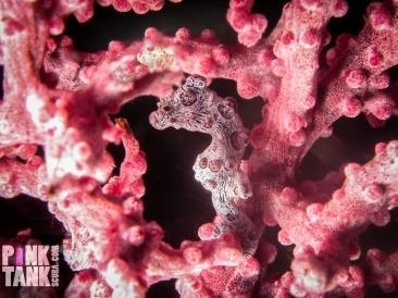 LOGO pygmy seahorse pink