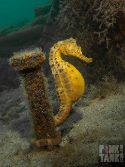 LOGO Seahorse wrapped around nail