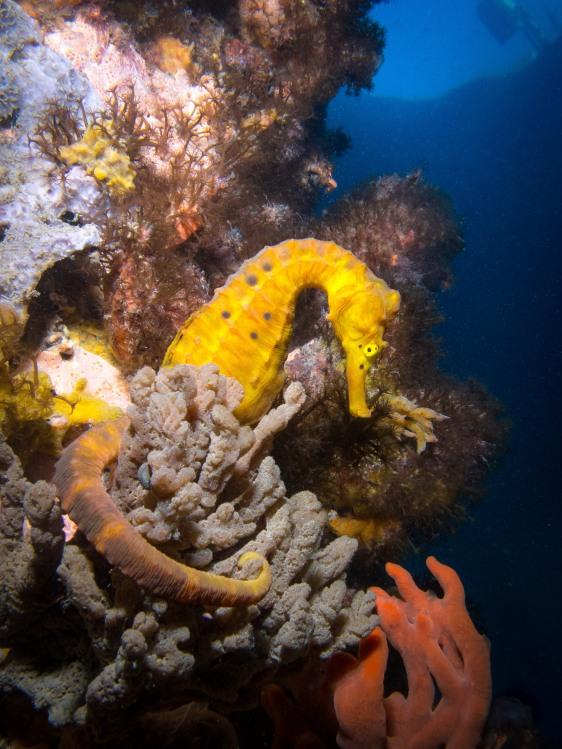 Seahorse on Column Spongs No Logo