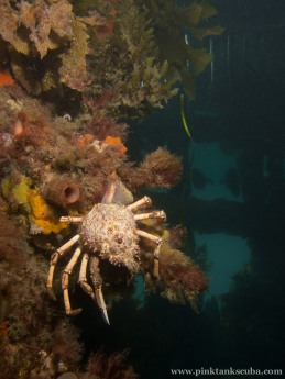 Upload single spider crab on pylon
