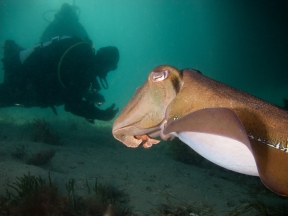 Giant Cuttlefish and Diver Silhouette