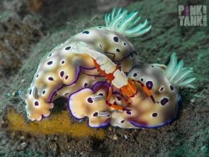 LOGO 2 Bali Nudis with Emporer Shrimp