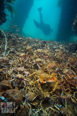 LOGO Adriana in distance of Spider Crabs 28 June 2018 Dive 915