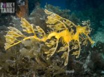 LOGO Leafy Seadragon Landscape profile