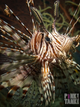 LOGO Lionfish Closeup