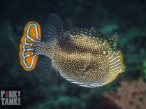 LOGO Ornate Cowfish Side On