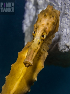 LOGO Seahorse Poking Tongue Out