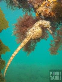 logo-seahorse-swimming