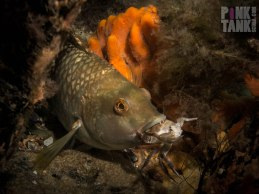 LOGO Wrasse Eating Crab