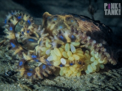 LOGO Blue Ringed Octopus Focus on Eggs