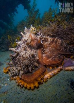 LOGO Octopus Portrait Blairgowrie 5 Nov 2017