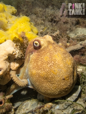 LOGO Octopus with bulbous head near yellow sponge