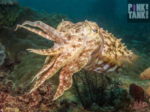 LOGO Giant Cuttlefish Puerto Galera