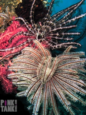 LOGO Bali Crinoids