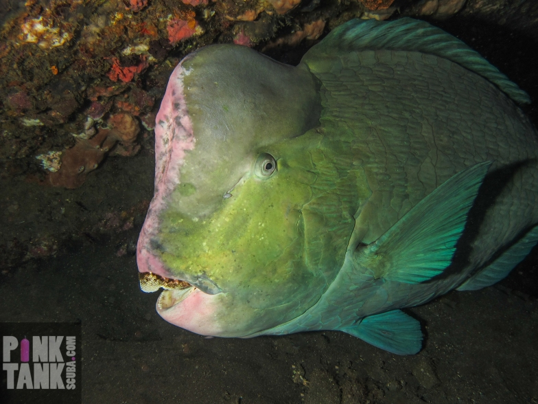 LOGO Bumphead Parrotfish on Liberty Wreck