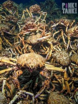 LOGO Spider Crab Bad Boy Gang