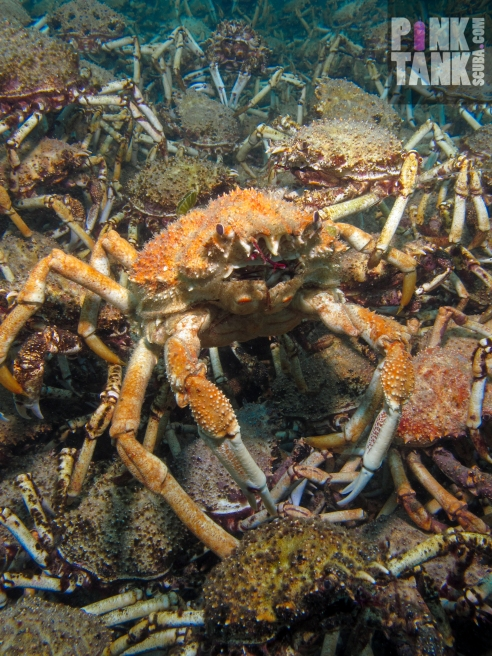 LOGO Spider Crab Centre of Attention